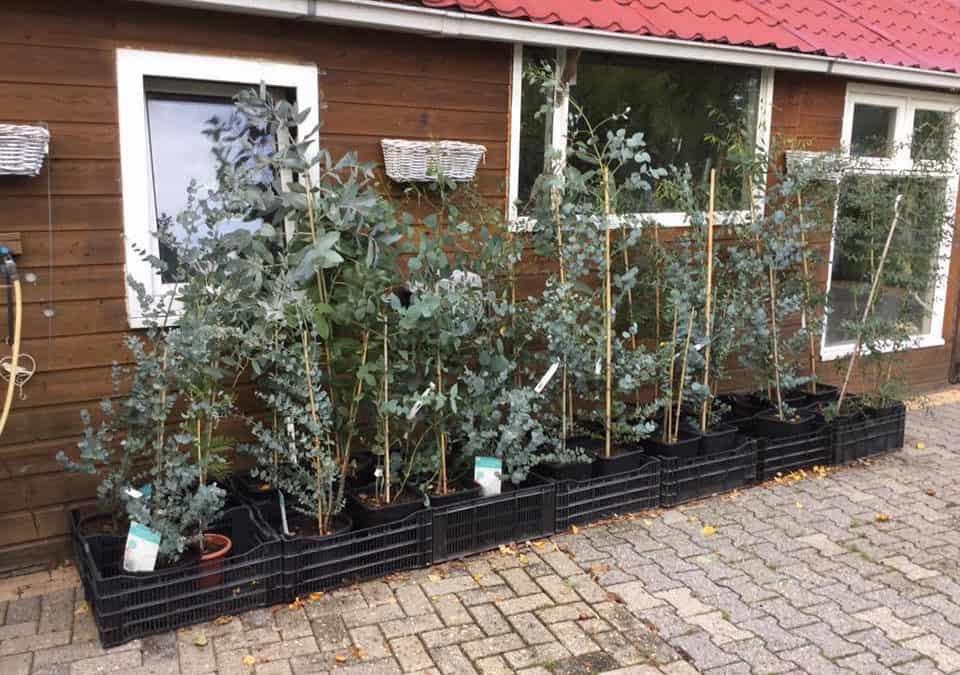 Eucalyptussen bij de winkel